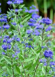 Bluebeard Flower - plants for water wise pollinator gardens blue mist spirea