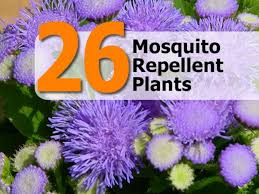 Mosquito Repellent For Home by 26 Mosquito Repellent Plants