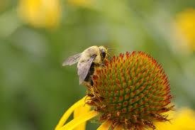 file yellow coneflower echinacea paradoxa closeup bee 3008px jpg