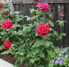 Patio Tree Roses by Planting And Caring For Hybrid Tea Roses Rosa Mister Lincoln How