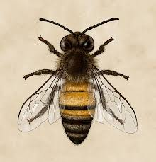 scientific illustration honey bee honey bee scientific honey