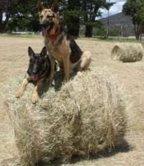 south australian german shepherd breeders 17 best images about german shepherd part 19 closed on pinterest