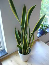 houseplant care guides snake plant 101 taking u0027easy u0027 to a new level