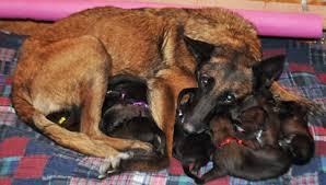 belgian shepherd malinois temperament police k 9 puppies for sale belgian malinois puppies ruidoso