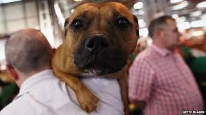 american pitbull terrier uk law staffordshire bull terriers a question of class bbc news