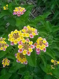texas native plants database friends of hagerman national wildlife refuge lantana