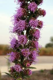 missouri native plant nursery 30 best missouri native flowers for bees and butterflies images on