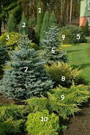 best 25 blue spruce ideas on evergreen trees
