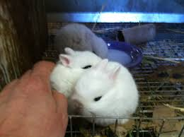 breeds u2013 trickster hares