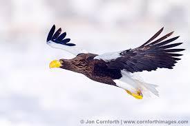 stellers sea eagle wallpapers steller u0027s sea eagle 26 photography print u0026 stock image cornforth