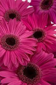 gerbera daisies pink gerbera daisies calyx flowers inc