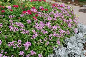 pentas flower colorful pentas bloom in summer s heat and humidity what grows