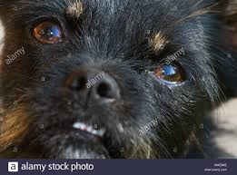 affenpinscher and chihuahua dogs face angry blue eyes chihuahua chiwawa stock photo royalty