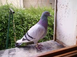 cuisine des pigeons voyageurs forum 900 xj et variantes afficher le sujet sos pigeon belge