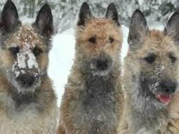 belgian sheepdog history pastor belga laekenois belgian shepherd laekenois youtube