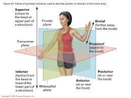 Human Anatomy Planes Of The Body Body Orientation And Direction Dependent On Anatomical Position