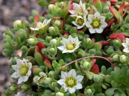 native plants of pakistan pakistan world of succulents