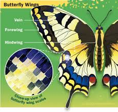 anatomy of a butterfly wing howstuffworks