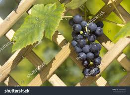 red grapes on vine against wooden stock photo 100970893 shutterstock