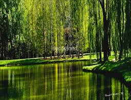 weeping willow tree ribbons by carol f