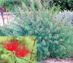 baja fairy duster seeds shrub bush desert plant hummingbird red