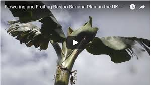 banana plant flowers and fruits in sheffield yorkshire uk for