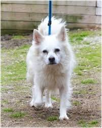american eskimo dog black american eskimo dog dog for adoption in randallstown md adn