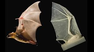 3d printed robotic bat wing built to study flight tested