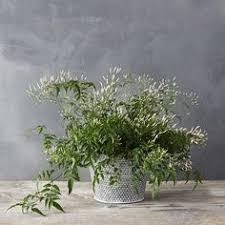 Fragrant Indoor House Plants - madagascar jasmine climbing fragrant flowers gardening