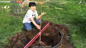 how to plant bare root fruit trees in your backyard gardening
