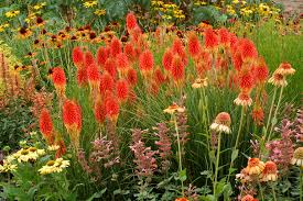 high heat plants kniphofia u0027papaya popsicle u0027 terra nova nurseries inc