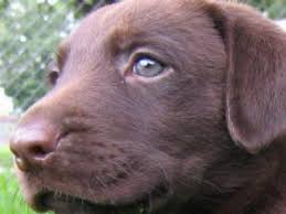 affenpinscher in texas labrador retriever puppies in texas