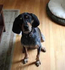 bluetick coonhound genetics grand bleu de gascogne hunting dogs puppy grand blue de
