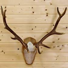 horns for sale elk skull plate horns sw9059 for sale at safariworks taxidermy