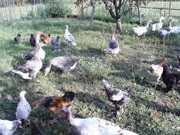cerco animali da cortile animali da cortile a asti kijiji annunci di ebay