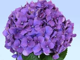 purple hydrangea purple hydrangea nick 5 2 15 purple