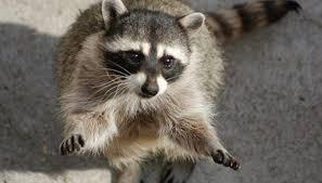Raccoons In Backyard How Do Raccoons Mark Territory Sciencing
