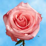 global roses pink roses global