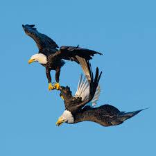 for amorous bald eagles a u0027death spiral u0027 is a time