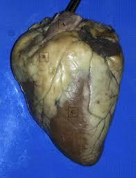 Sheep Heart Anatomy Quiz Anatomy U0026 Physiology 2 Lab Final Quiz Questions