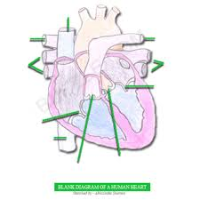 diagram of d heart in d skeletal system of human body human