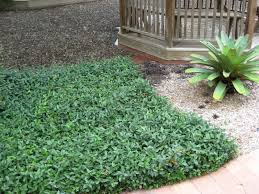 Florida Landscape Ideas by Evergreen Ground Cover Full Sun Is An Evergreen Groundcover