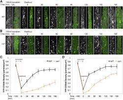 cellulose synthase interactive1 is required for fast recycling of