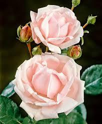buy climbing rose u0027new dawn u0027 bakker com