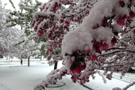 The Month Of June Flower - visual proof that it does snow in colorado during the month of june