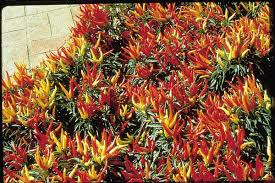 chilly chili hybrid pepper seeds seeds n such