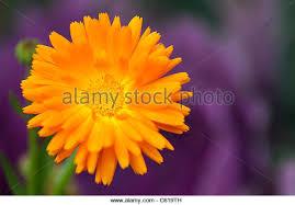 calendula flowers calendula flowers stock photos calendula flowers stock images