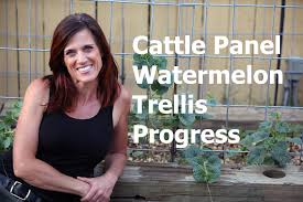 cattle panel vertical watermelon trellis progress and care tips