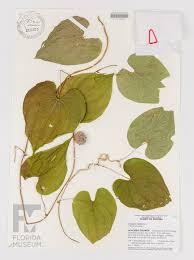 native florida air plants air potato