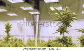 Grow Room Lights Huge Recreational Cannabis Grow Room Greenhouse Stock Photo